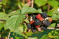 Bramble Rubus fruticosus close_up of ripening berries, West Sussex, England, september