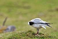 Black_headed Gull Chroicocephalus ridibundus preening its feathers, the Netherlands