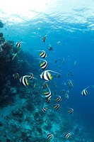 School of Moorish Idol