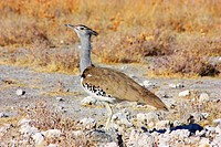 Kori Bustard _ lateral view