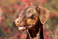 Dobermann Pinscher, brown
