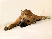 A Lurcher dog laying down