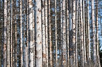 Detail of tree trunks, Harz, Germany, Europe