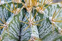 Bishop´s cap cactus Astrophytum ornatum