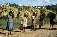 women carrying rice bundle on their head, paddy field in Central Highlands, Republic of Madagascar, Indian Ocean