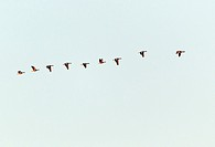 Greylag Goose Anser anser, Skien Flying in Formation at Dawn, Sjaelland, Denmark