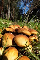 Mushroom in a Scots Pine forest, Pinus sylvestris forest, Spain, Europe