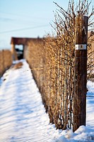 Vines growing on poles in snow