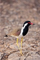 Red Wattled Lapwing at Ranthambhore, India