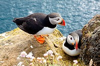 Puffins on the rock _ Latrabjarg, Iceland