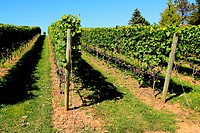 a vineyard showing rows of vines with grapes