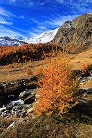 Alphubel, riverbed, autumn, colors, larch, larches, larch wood, Saas Fee, valley of Saas, sunshine, valley, Valais, Switzerland, Europe, sunny