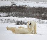 The couple of polar bears relaxes.