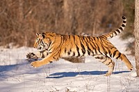 Siberian tiger, Panthera tigris altaica, running in snow  Native to northern Korea, China and Russian Far East
