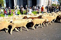 Festival of the Transhumance. Herd of sheep through the Puerta de Alcala in Madrid, Spain