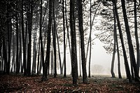 Pine logs in the fog  Salamanca Province  Castile and Leon  Spain