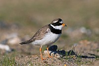 Common ringed plover Charadrius hiaticula in breeding plumage, Germany