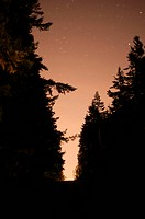 Silhouette of fir trees against starry night.
