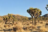 Joshua tree, Yucca brevifolia, Joshua Tree National Park, Mojave Desert, California, USA