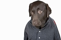 Portrait of sad labrador wearing cardigan