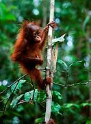Baby orangutan Pongo pygmaeus.