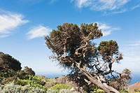 Juniper tree twisted in the wind in the region of Sabinar on El Hierro, Canary Islands.