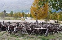 Reindeer grading in autumn, Sami people selecting animals for meat market, Norway.