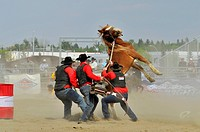 A team of cowboys trying to saddle a wild horse Equus ferus at a rodeo event in Alberta, Canada.