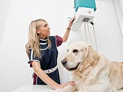 Vet in x-ray room with dog golden retriever in veterinary clinic