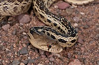 San Diego gopher snake, Pituophis catenifer annectens, native to Southern California and Baja California