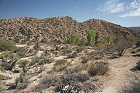 Shrubs and cacti in the Mojave Desert, California.