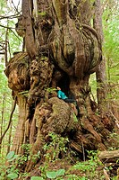 A giant old_growth western redcedar tree thuja plicata in the Pacific Rim National Park Reserve near Nitinat Lake on southwestern Vancouver Island, Br...