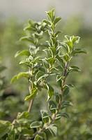 Kaliteri oregano Herb