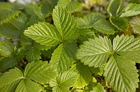 White Alpine Strawberry Herb