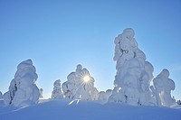 Snow covered trees with sun, Winter, Rukatunturi, Ruka, Kuusamo, Nordoesterbotten, Suomi, Finland