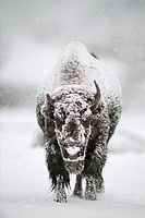 American bison Bison bison covered in snow. Photographed in Yellowstone National Park, Wyoming, USA, in winter.