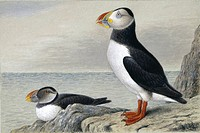 Atlantic puffin Fratercula arctica, artwork.
