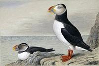 Atlantic puffin Fratercula arctica, artwork.