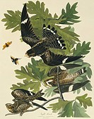 Common nighthawk Chordeiles minor. Illustration from John James Audubon´s ´Birds of America´, original double elephant folio 1831_34, hand_coloured aq...