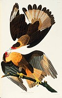 Crested caracara Caracara cheriwa. Illustration from John James Audubon´s ´Birds of America´, original double elephant folio 1831_34, hand_coloured aq...