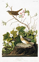 Lincoln´s sparrow Melospiza lincolnii. Illustration from John James Audubon´s ´Birds of America´, original double elephant folio 1831_34, hand_coloure...