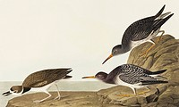 Purple sandpiper Calidris maritima and Wilson´s plover Charadrius wilsonius. Illustration from John James Audubon´s ´Birds of America´, original doubl...