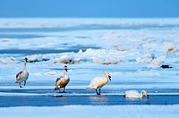 Mute swan Cygnus olor family group foraging on a frozen salt marsh at dawn in winter. This group consists of two adults right, white and two juveniles...