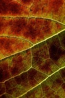 Douro vineyard leaf  Portugal