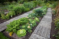 Specimens of different cabbage species growing at Oulu University Botanical Garden  Location Oulu Oulu University Botanical Garden Finland Scandinavia...