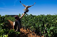 Man training falcon to keep birds out of vineyard, Burgos province, Castilla-Leon, Spain