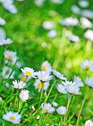 Summer daisies in fresh grass