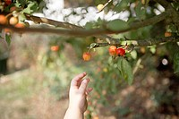 Toddler picking fruit off plant