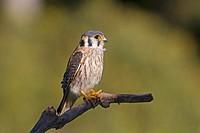 Brazil, Mato Grosso, Pantanal area, American Kestrel or Sparrow Hawk Falco sparverius