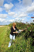 Picking wild fruit, woman picking hedgerow blackberries for jam making, Norfolk, UK, September